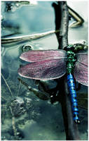 Dragonfly by lonesomeaesthetic