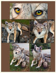 Poseable coyote soft mount - FOR TRADE SALE - SOLD by Taxidermy-Pride