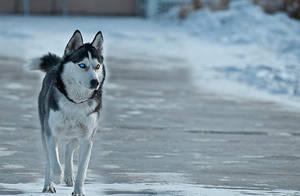 husky by chuntura