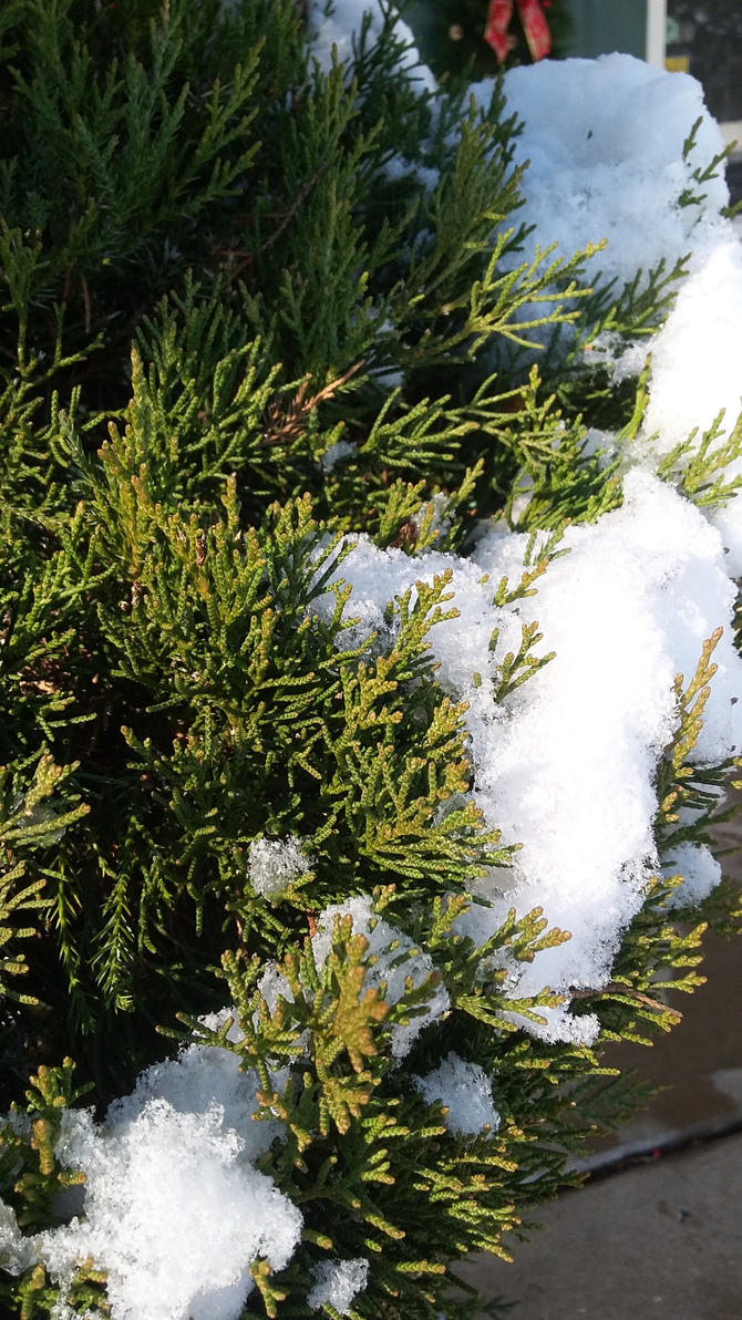 Of Pine Needles and Snow by SharkGirl15