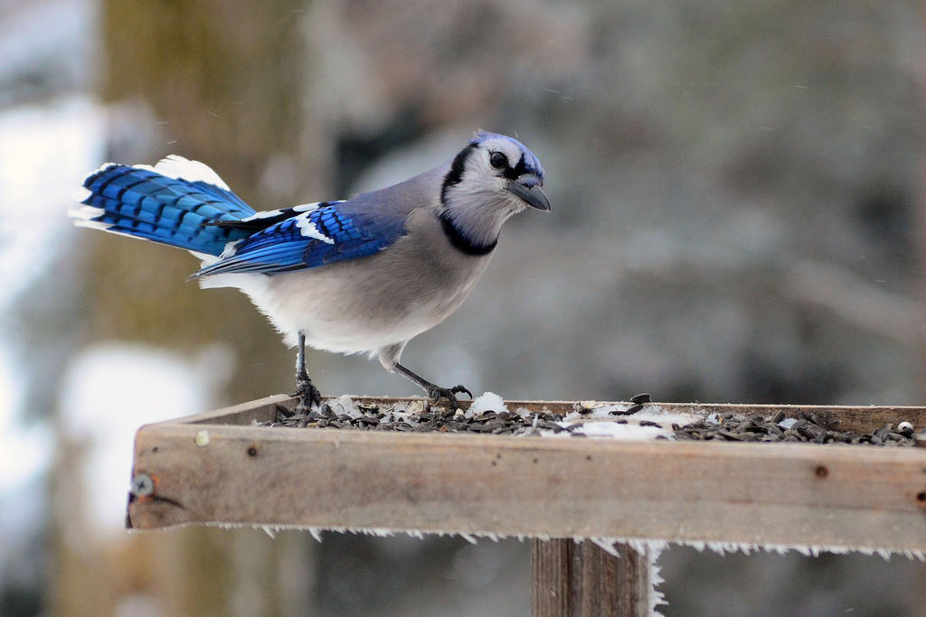 Blue Jay Feeder by CoreyChiev