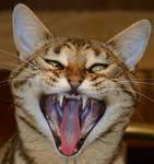 Lexi Bengal Cat