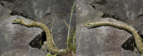 Stock Snake by Reikantuyoi