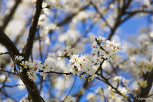 blooming almond tree