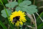 bumblebee by digital--bee