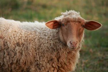 Sheep by JennDixonPhotography