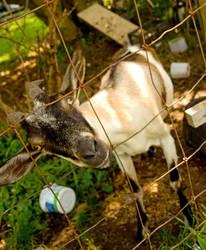 Yo, goat. by JennDixonPhotography