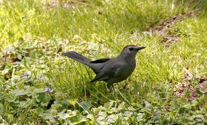 Mockingbird by JennDixonPhotography