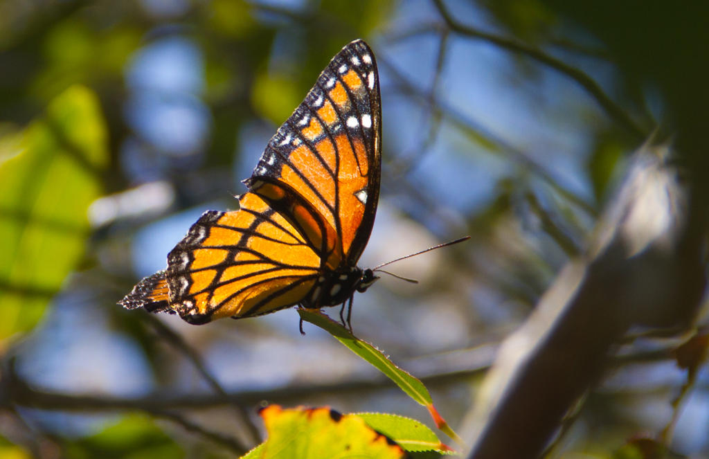 Monarch Butterfly by JennDixonPhotography