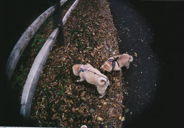 Two Pugs -Disposable Film Camera with Fisheye Lens by JennDixonPhotography