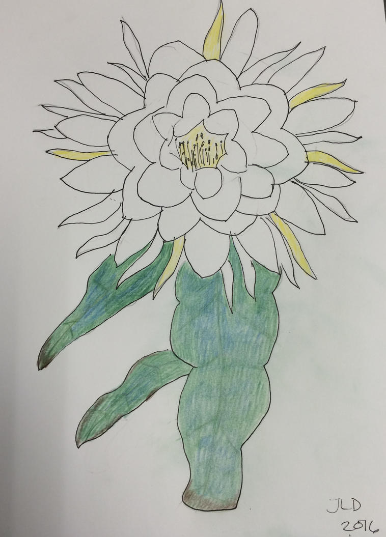 Night Blooming Cereus Drawing by JennDixonPhotography