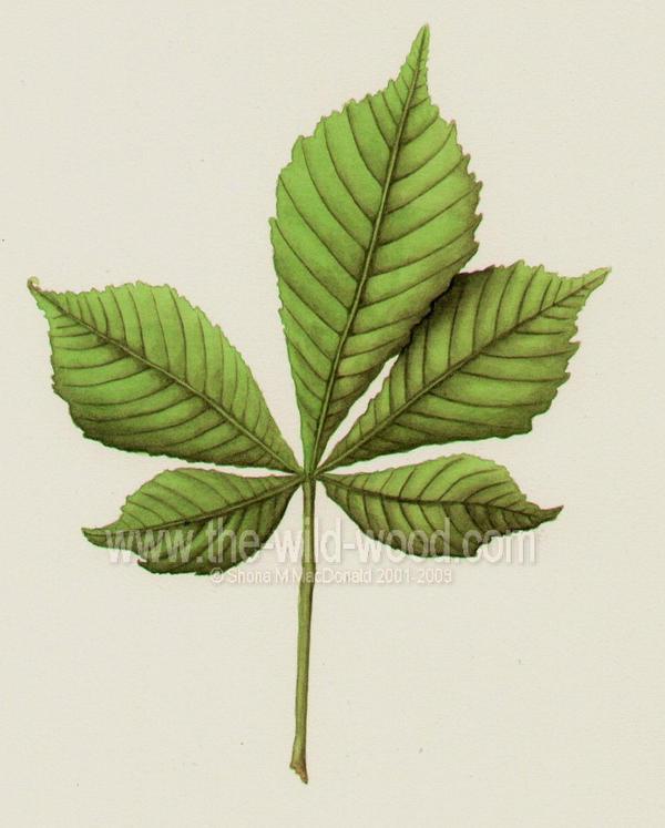 Horse Chestnut leaf by WildWoodArtsCo