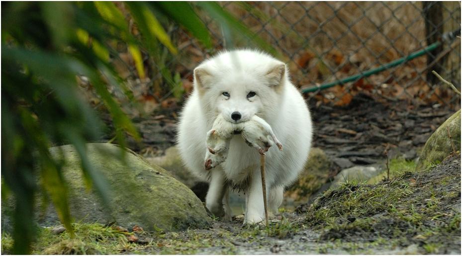 White fox - white prey by Monkeygrip on DeviantArt - photo#47