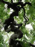 Corkscrew tree