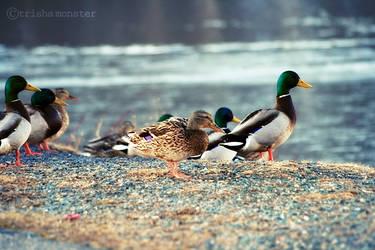 lakeside ducks by TrishaMonsterr