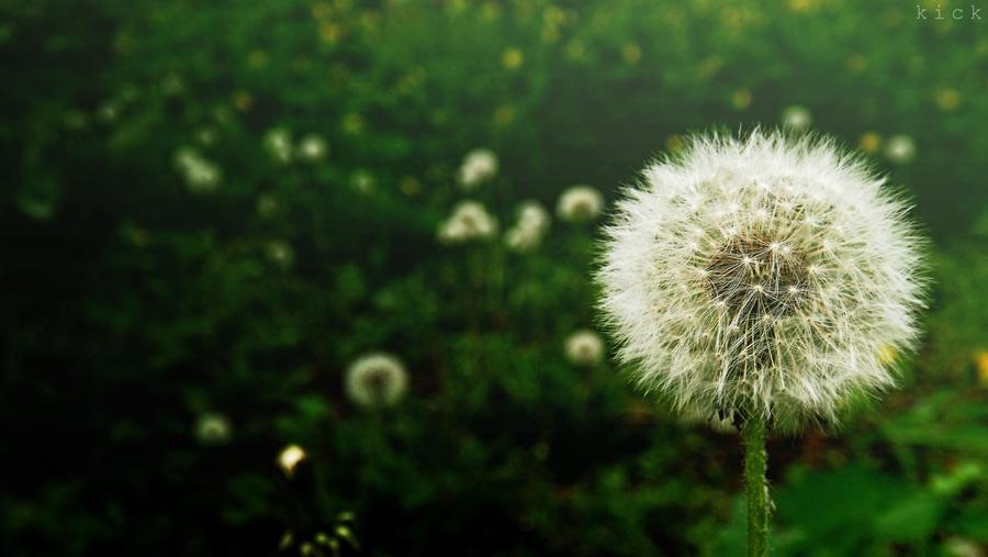 A field of dandelions by SawyerAFK