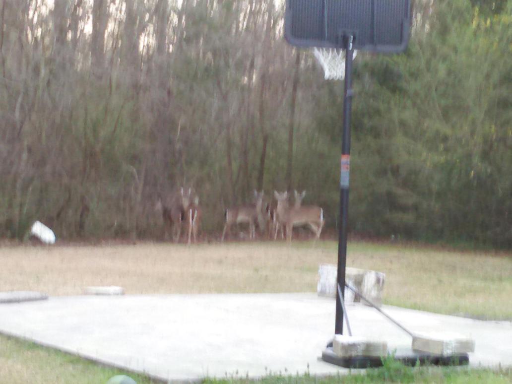 Deer in my Backyard by Prentis-65