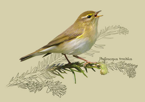 The willow warbler