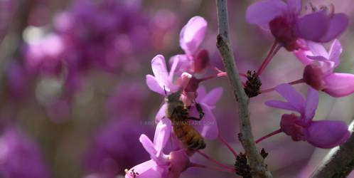 Bee on Eastern Red Bud