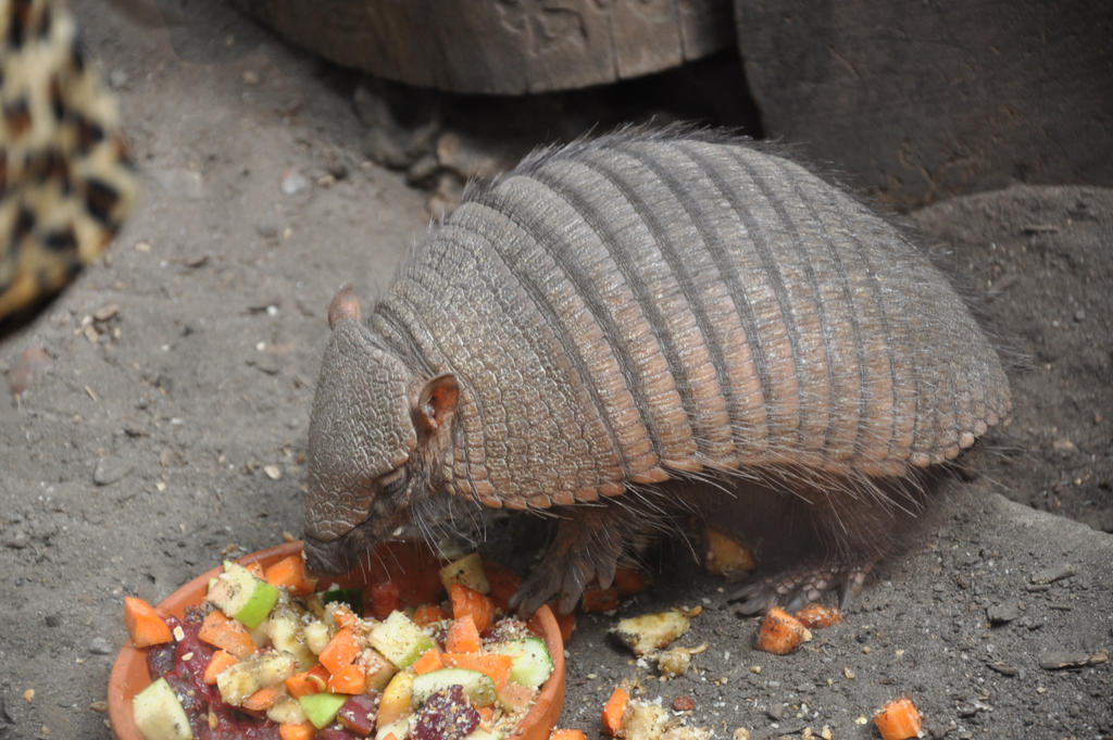 Armadillo Eating