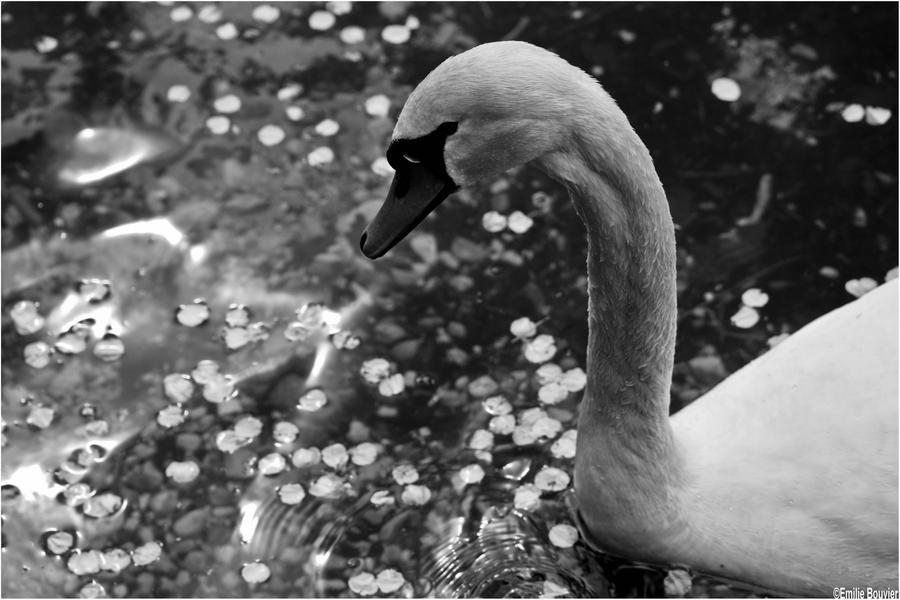 Swan by EmilieBouvier