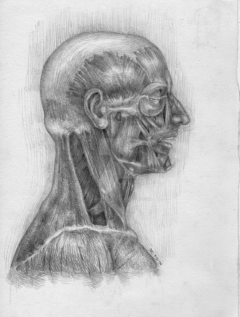 Head muscles study - profile by hanestetico