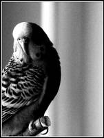 budgie by ginTonic13