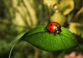 ladybug on leaf by tazwaraz