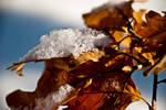 Leaves under snow