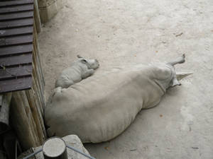 Babie Rhino and Mother