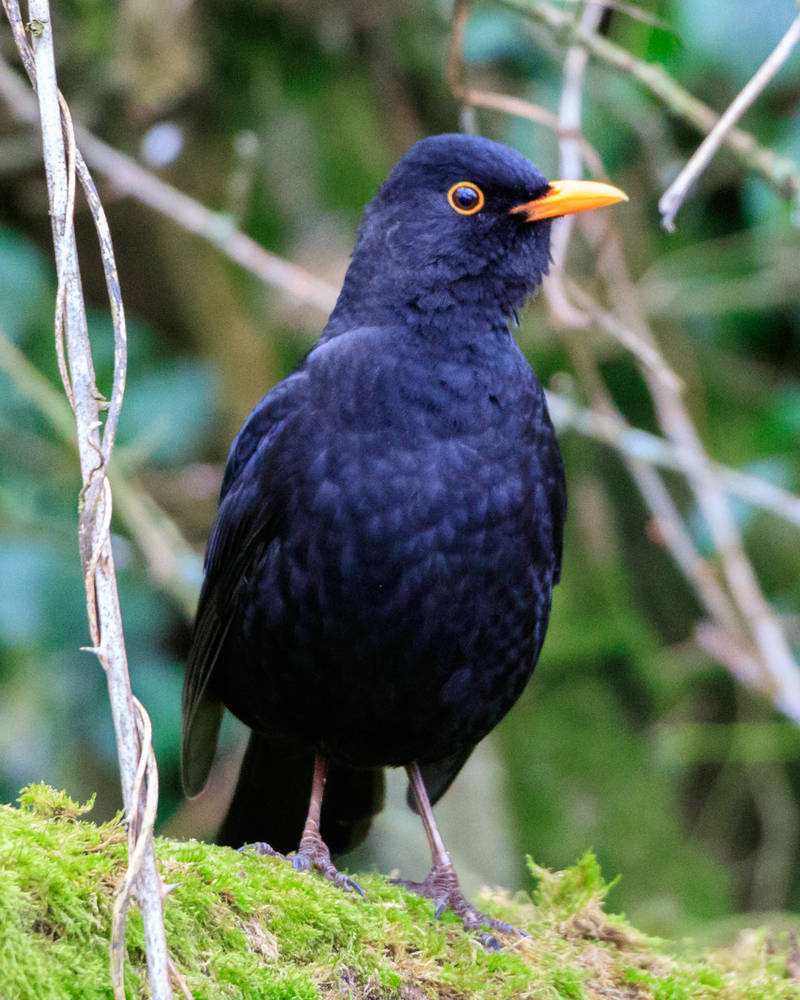 Hello Blackbird