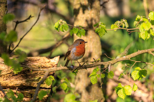 Afternoon Robin
