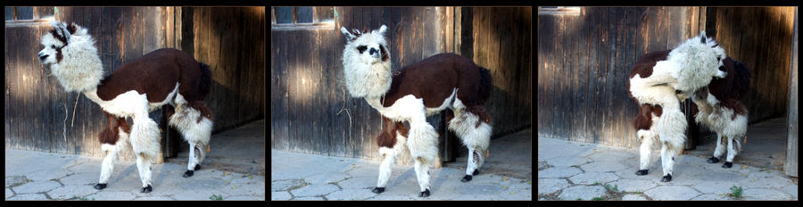 And another little llama...