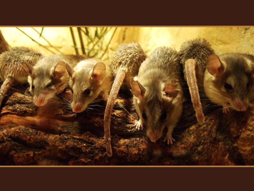 A row of mice