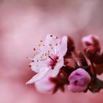 14/52 - Cherry Blossoms