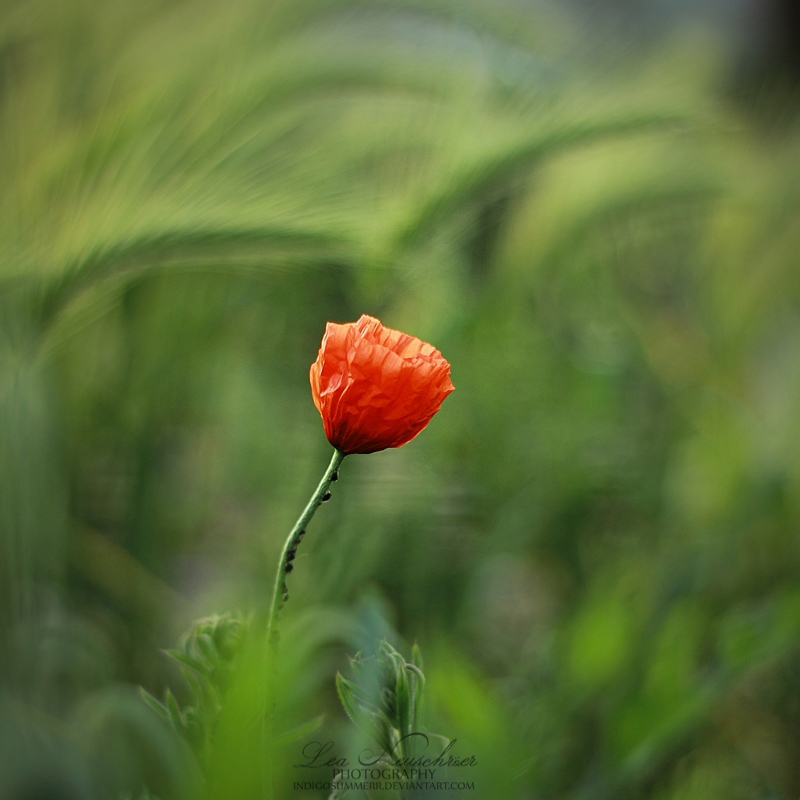 24/52 - Poppies by IndigoSummerr