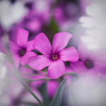 Purple Trio by IndigoSummerr
