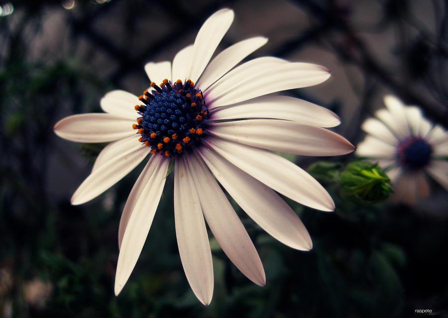 La Flor del Viento by raspete