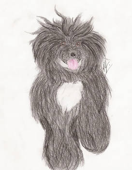 Portuguese Water Dog Commission
