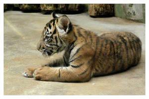 Tiger cub by Pawkeye