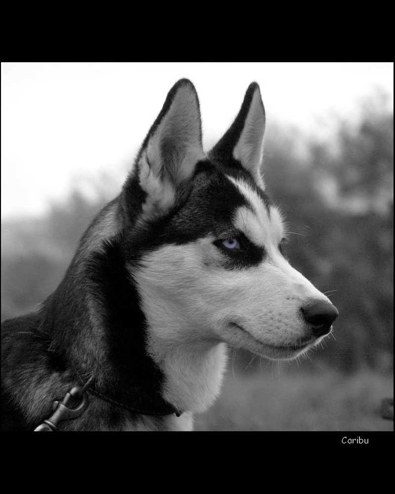Black And White Husky Photography | www.imgkid.com - The ...