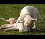 Siberian husky puppies xxxgx