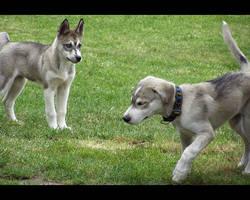 SIberian husky puppy xxcx by Pawkeye