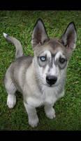 Siberian husky puppy xxmx