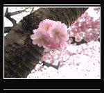 sakura tree by rockinanimepunkbabe