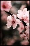 sakura blossoms by rockinanimepunkbabe