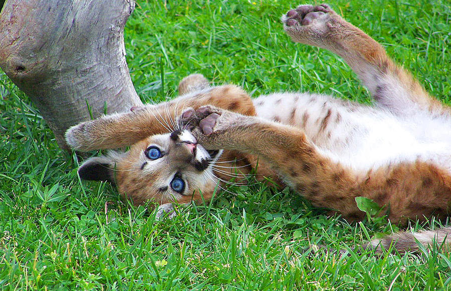 baby cougar by neaters2000 on DeviantArt