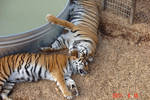 Tiger Stock 2
