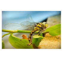 DragonFly by Mrs-Ivy