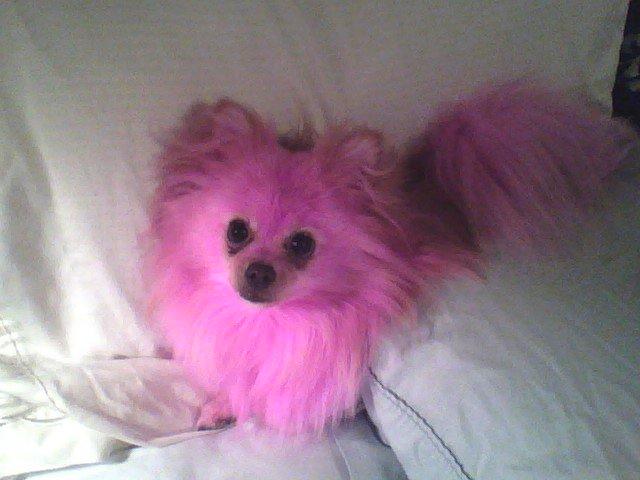 Pink Poofy Pomeranian Pickles by awesomejellystar